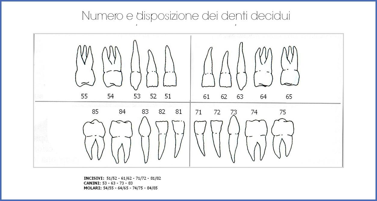numero e disposizione denti decidui